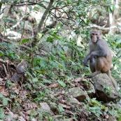"""Macaque rhÈsus (Bandar) assis sur un rocher, regardant le photographe.  Singe de la population rÈintroduite ‡ hong-kong """"accidentellement"""" (‡ l'origine, probablement des animaux domestiques qui se seraient ÈchappÈs). Il y aurait une population de quelques centaines d'individus.   Ordre : Primates Famille : Cercopithecidae Genre : Macaca EspËce : Macaca mulatta"""