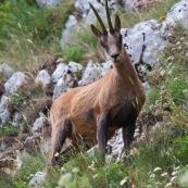 Chamois des Abruzzes (Isard Apennin), sauvage, dans le Parc National des Abruzzes, Italie (Parco Nationale díAbruzzo, Lazio e Molise).  Chamois en contre-plongÈe, de trois quart face, dans la montagne.  Le chamois des Abruzzes est considÈrÈ comme une sous-espËce de l'Isard.  Classe : Mammalia Ordre : Cetartiodactyla Famille : Bovidae EspËce : Rupicapra rupicapra Sous-espËce : Rupicapra pyrenaica ornata
