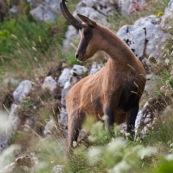 Chamois des Abruzzes (Isard Apennin), sauvage, dans le Parc National des Abruzzes, Italie (Parco Nationale díAbruzzo, Lazio e Molise).  Chamois de face, regardant vers la gauche, sur un flanc de montagne. Le chamois des Abruzzes est considÈrÈ comme une sous-espËce de l'Isard.  Classe : Mammalia Ordre : Cetartiodactyla Famille : Bovidae EspËce : Rupicapra rupicapra Sous-espËce : Rupicapra pyrenaica ornata