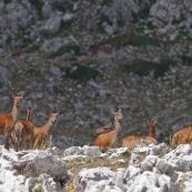 Troupeau de biches et leurs faons (cerf Èlaphe), sauvages, dans le Parc National des Abruzzes, Italie (Parco Nationale díAbruzzo, Lazio e Molise).  Huit individus visibles au premier plan, en montagne. Le reste du troupeau est visible en arriËre plan.   Classe : Mammalia Ordre : Artiodactyla Famille : Cervidae EspËce : Cervus elaphus