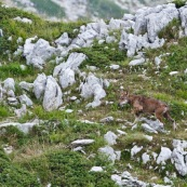 Loup des Apennins, sauvage, dans le Parc National des Abruzzes, Italie (Parco Nationale díAbruzzo).  Loup en train de marcher, de profil. Deux loups ont ÈtÈ surpris au moment du passage d'un col, ‡ moins de 20 mËtres,  ils se sont immÈdiatement enfuis. Un des deux s'est laissÈ de nouveau surprendre une centaine de mËtres plus loin, avant de reprendre son chemin. Environ 80 loups vivent dans le massif des Abruzzes.  Classe : Mammalia Ordre : Carnivora Famille : Canidae EspËce : Canis lupus Sous-espËce : Canis lupus italicus