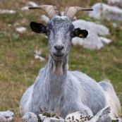 ChËvre (bouc) en Italie, dans le Parc National des Abruzzes. CouchÈ ‡ terre, en montagne, se repose. Vue de face.   Classe : Mammalia Ordre : Artiodactyla Famille : Bovidae EspËce : Capra aegagrus hircus