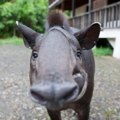 Tapirus terrestris. Tapir vue de face, gros plan sur la tête. A la stations scientifique Yasuni (équateur).