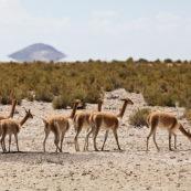 Lamas dans le désert
