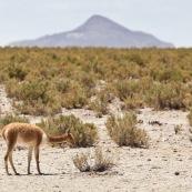 Lama dans le désert
