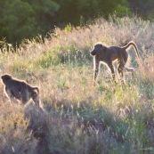 Babouin Afrique du Sud