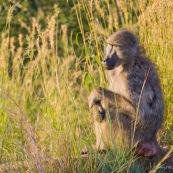Babouin assis Afrique du sud