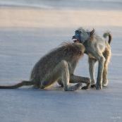 Babouin assis Afrique du sud mord