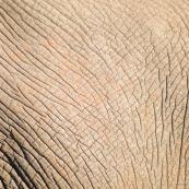 Peau elephant Afrique du sud