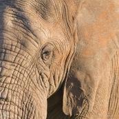 Tete d'elephant Afrique du Sud oeil oreille gros plan
