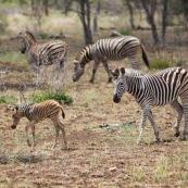 Zèbre Farique du Sud parc Kruger. Mère et son petit.