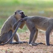 Le Vervet ou Vervet bleu (Chlorocebus pygerythrus) est un singe aux testicules bleues