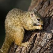 Tree squirell