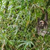 Paresseux et bambous