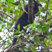 Fourmilier tamandua