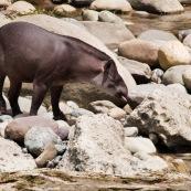 Tapir et héron