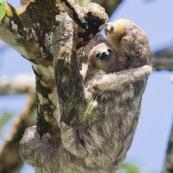 Paresseux à trois doigts (Bradypus tridactylus), Paresseux à gorge claire, Mouton paresseux ou Aï. Mère et son bébé. Sentier du Rorota. Guyane.