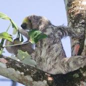 Paresseux à trois doigts (Bradypus tridactylus), Paresseux à gorge claire, Mouton paresseux ou Aï. Mère et son bébé. Sentier du Rorota. Guyane.  En train de manger des feuilles de bois canon.