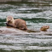 Loutre neotropicale