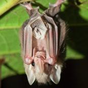 Chauve-souris sous une feuille