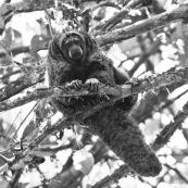 Pithecia monachus NB