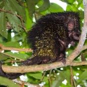 coendou bicolor