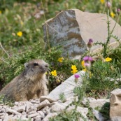 Classe : Mammalia Ordre : Rodentia Famille : Sciuridae EspËce : Marmota marmota  Jeune marmotton ‡ la sortie de son terrier, vu de face, au milieu de fleurs de montagnes.