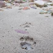 Sur les traces du Puma