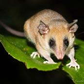 Marsupial Opossum