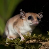 Marsupial ou opposum. Guyane.