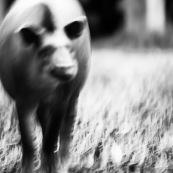 Tapir Carlita
