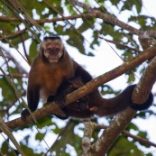 Capucin singe