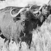 Bufles Farique du Sud