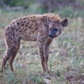Hyène Afrique du Sud