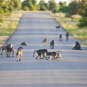 Babouins sur la route Afrique du Sud
