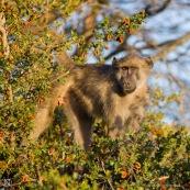 Babouin Afrique du sud yeux oranges