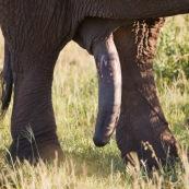 Elephant Afrique du Sud Sexe pénis