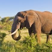 Elephant Afrique du Sud parc Kruger