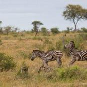 Zèbre Farique du Sud parc Kruger