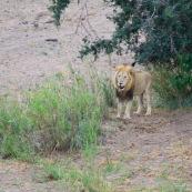 Lion Afrique du Sud parc Kruger