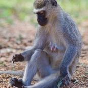 Le Vervet ou Vervet bleu (Chlorocebus pygerythrus) est un singe aux seins bleus