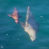Otaries sous-marines