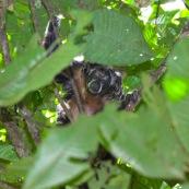 Pithecia monachus