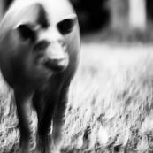 Tapir - Tapirus terrestris