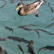 Canard avec des poissons