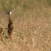 Tarier des prÈs, perchÈ sur une haute herbe, dans un prÈ sauvage en montagne , le soir.  Classe : Aves Ordre : Passeriformes Famille : Muscicapidae EspËce : Saxicola rubetra