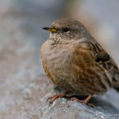 Accenteur alpin vu de trois quarts face, sur une pierre. Classe : Aves Ordre : Passeriformes Famille : Passeridae EspËce : Prunella collaris