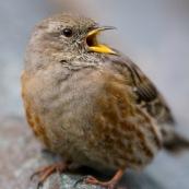 Accenteur alpin vu de trois quarts face, sur une pierre, le bec ouvert. Classe : Aves Ordre : Passeriformes Famille : Passeridae EspËce : Prunella collaris