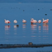 Phoenicopterus chilensis. Famille : Phoenicopteridae. Flamant du Chili, proche parent du flamant rose.Dans l'eau du lac Titicaca au levé du soleil.