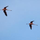 Phoenicopterus chilensis. Famille : Phoenicopteridae. Flamant du Chili, proche parent du flamant rose. En vol au dessus du lac Titicaca.